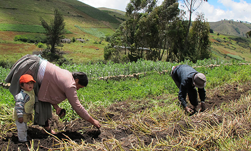 Bolivian farmers planting traditional potato varieties. Credit: Bioversity international/P. Bordoni