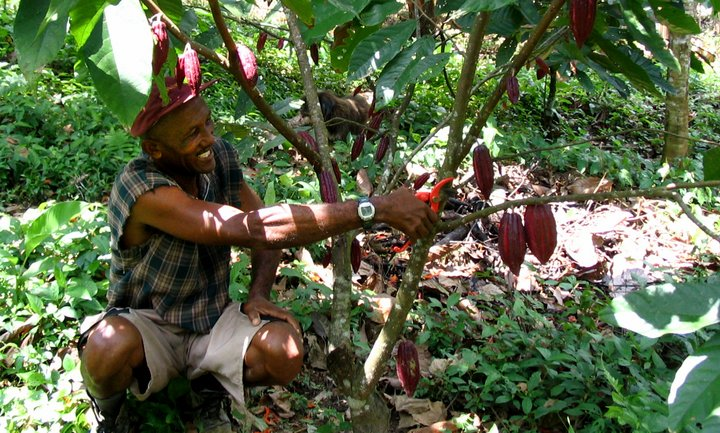 Farmer in Ghana prunes his Carabobo cacao tree, originally from Venezuela. Please credit: Bioversity International/R. Markham