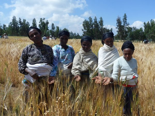 Farmers evaluating wheat during trials in Ethiopia. Credit: Bioversity International/S. Collins