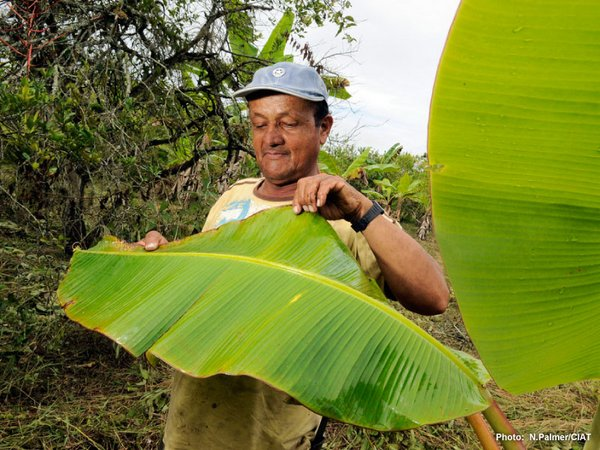 Banana plantation worker in Colombia. Credit: CIAT/N. Palmer
