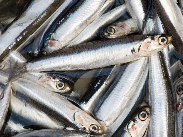 Analyses in Maluku, Indonesia, showed that locally available fish species, such as anchovies, could contribute much more to nutrition and incomes, if the appropriate interventions are put in place. Credit: Paul Asman and Jill Lenoble [CC BY 2.0 (https://creativecommons.org/licenses/by/2.0)]