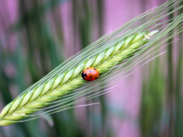 Ladybirds feed on wheat pests. Credit: Bioversity International/N.Capozio