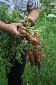 Harvesting carrots, one of the underutilized root crops, in Mai Son, Vietnam. Credit: Bioversity International/J.Raneri