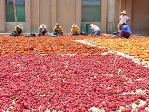 Women selecting chillis for market/food industry, Peru. Credit: Bioversity International/X.Scheldeman