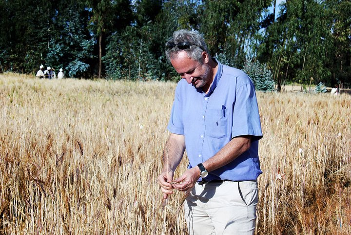 Bioversity International scientist Carlo Fadda in a durum wheat test plot in Ethiopia. Credit: Bioversity International