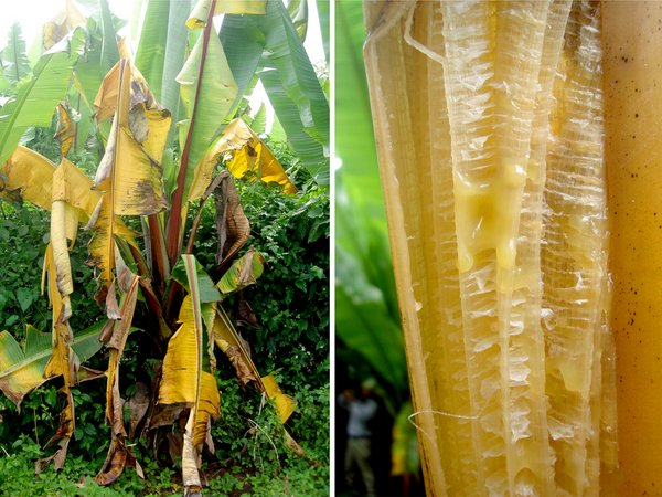 Xanthomonas bacterial wilt of enset caused by X. campestris pv. musacearum. The photos depict leaf yellowing and wilting, and pockets of bacterial ooze in a leaf petiole. Credit: Bioversity International/G.Blomme.
