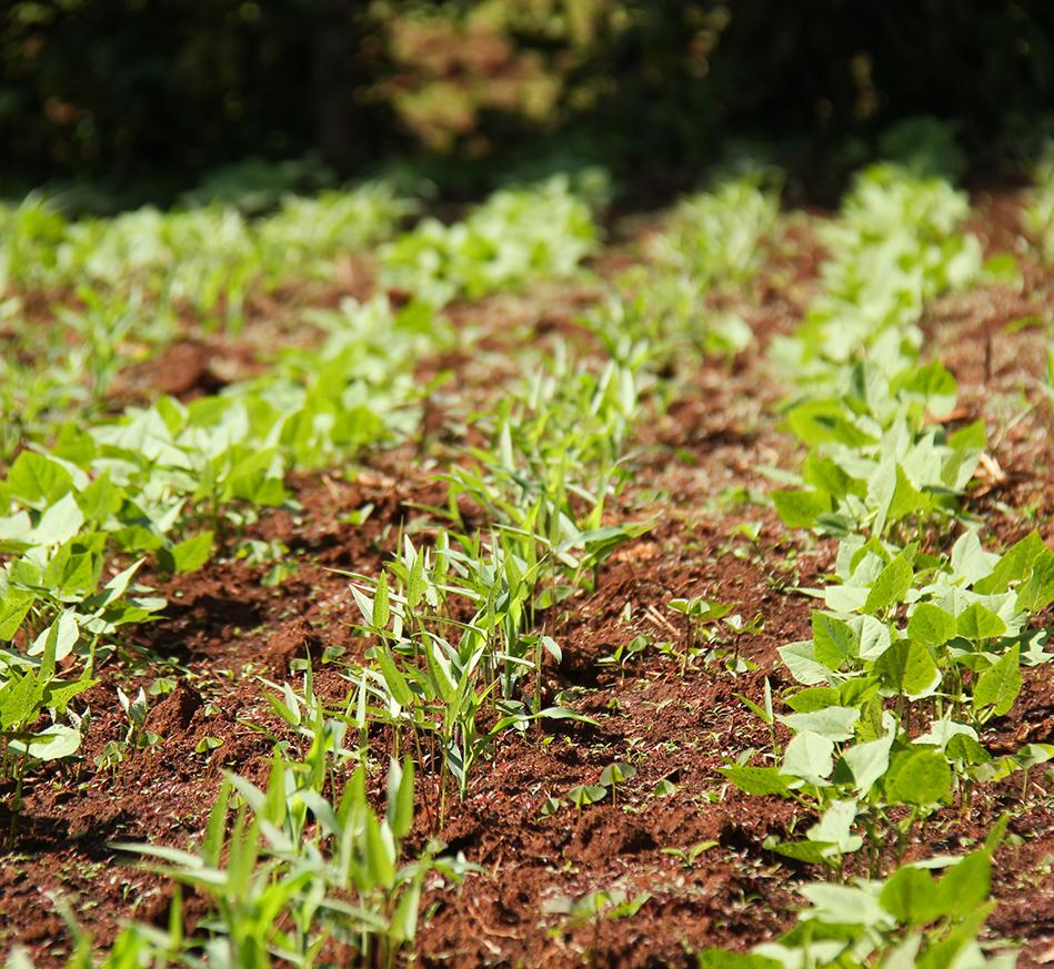 Two different varieties of beans sprouting in a Vihiga County farm in Kenya. Credit: Bioversity International/P.Gallo