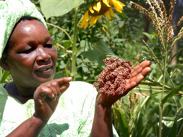 Peninah Mwangangi is a leading light in the Kyanika Womens Group in Kitui, eastern Kenya, and plays a key role in conserving local farmer landraces of a variety of crops. Here she shows some sorghum that the group is conserving. Credit: Bioversity International/ Y. Wachira