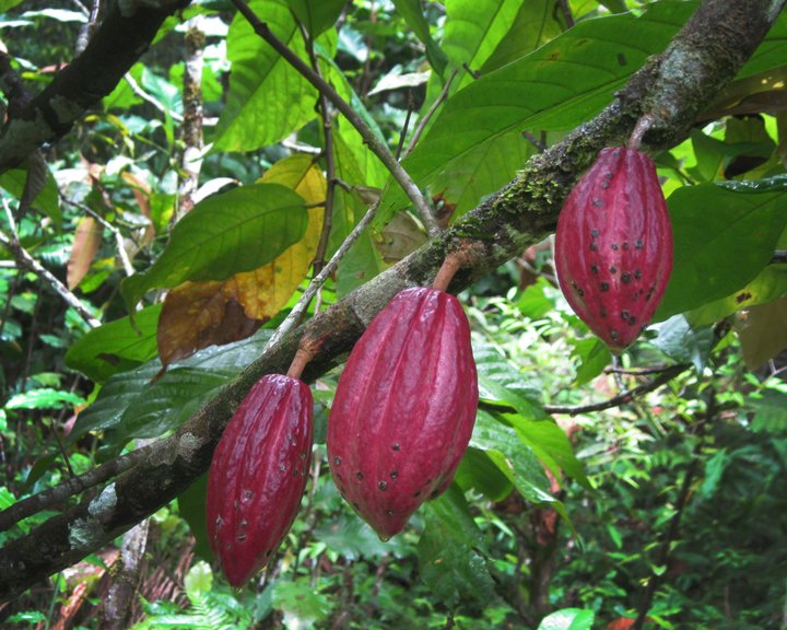 Linking cacao diversity to markets can help smallholder farmers mitigate pest and disease loss. Credit: Bioversity International/B. Sthapit