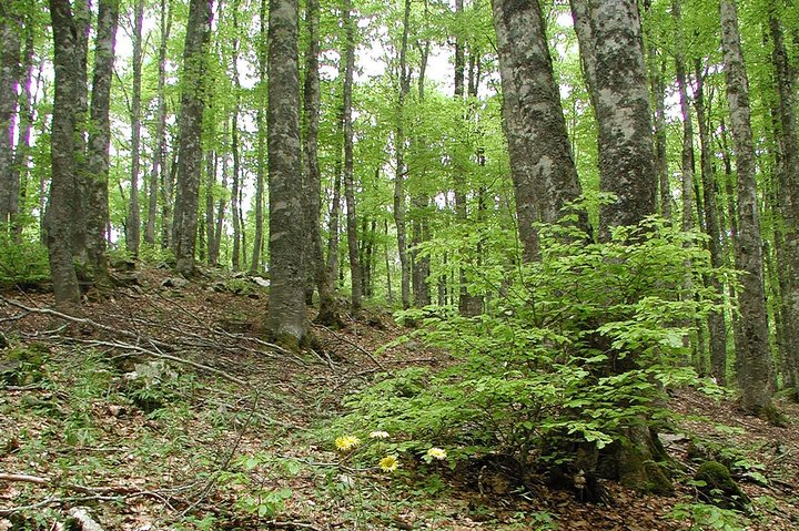 Beech forests are a feature of the European landscape. Credit: Bioversity International/Jeremy Cherfas