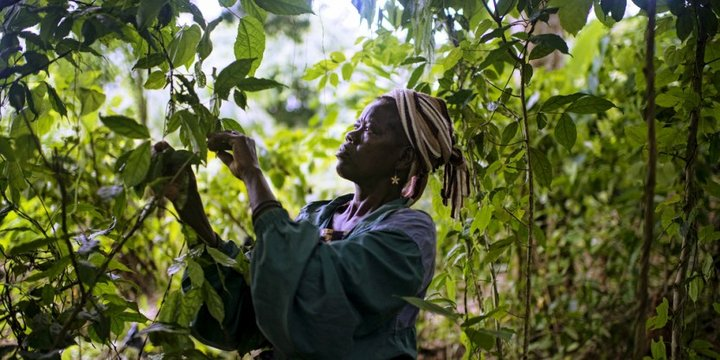 Woman picks fruit from a tree in the Congo Basin. Credit: CIFOR/O. Girard