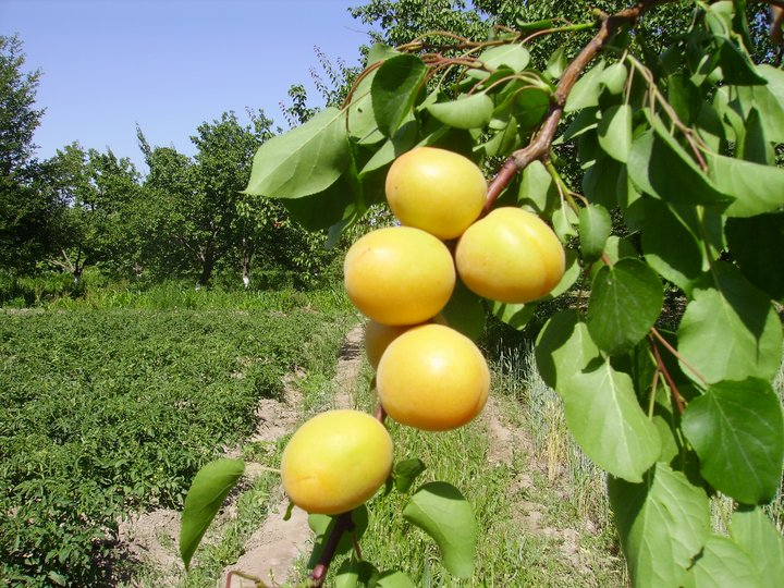 Local apricot variety, Uzbekistan. Credit: Bioversity International/K.Baymetov