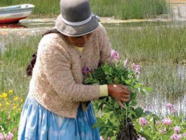Custodian farmer rescues potatoes from flooding along the banks  of Lake Titicaca