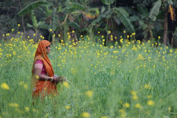 Woman picking roots in field of mustard and fodder grass, India. Credit: Bioversity International/C. Zanzanaini
