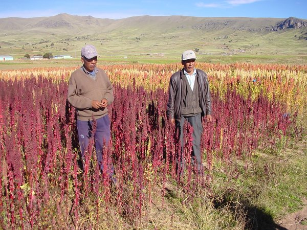 Farmers standing in front of the quinoa varieties that they had planted as part of the PACS scheme in Peru. Bioversity International/Adam G. Drucker
