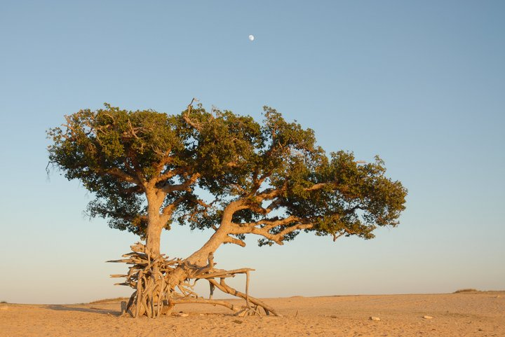 Ficus sycomorus, a desert tree widely distributed in Africa and parts of Asia. Credit:Bioversity Internationa/R. Khalil