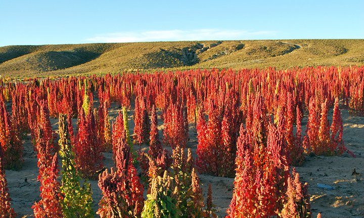 Quinoa growing in Bolivia. Credit: Bioversity International/S. Padulosi