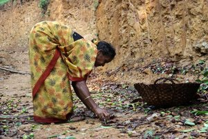 Gathering Kokum, India. Credit: Bioversity International/E. Hermanowicz