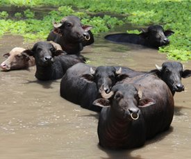 Buffalo in Costa Rica. Credit: Bioversity International/C.Zanzanaini