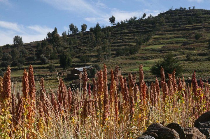 Quinoa growing in field, Peru. Credit: Bioversity International/A.Camacho