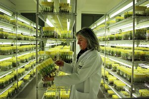 Ines Van den Houwe at the Bioversity International Musa Transit Centre. Credit: Bioversity International/ N. Capozio