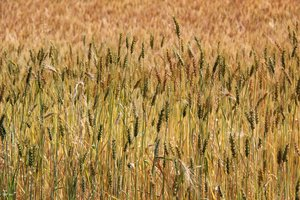 Durum wheat varieties growing in the trial plots at Geregera, Ethiopia.