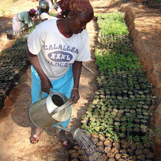 Watering African leafy vegetable seedlings. Credit: Bioversity International/P. Maundu