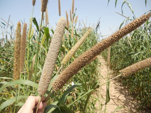 Pearl Millet Field, Jodhpur, India. Credit: Bioversity International/C. Bonham