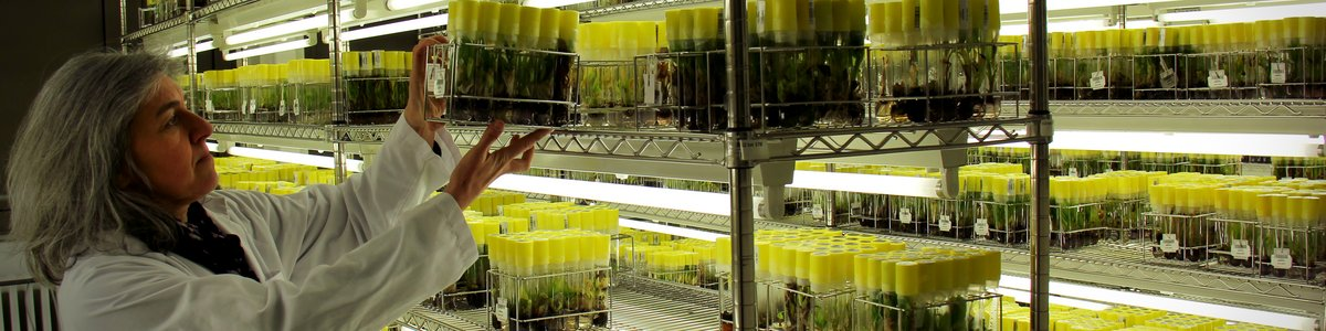 The Bioversity International Musa Transit Centre is home to the world's largest collection of banana germplasm. Credit: Bioversity International/N.Capozio