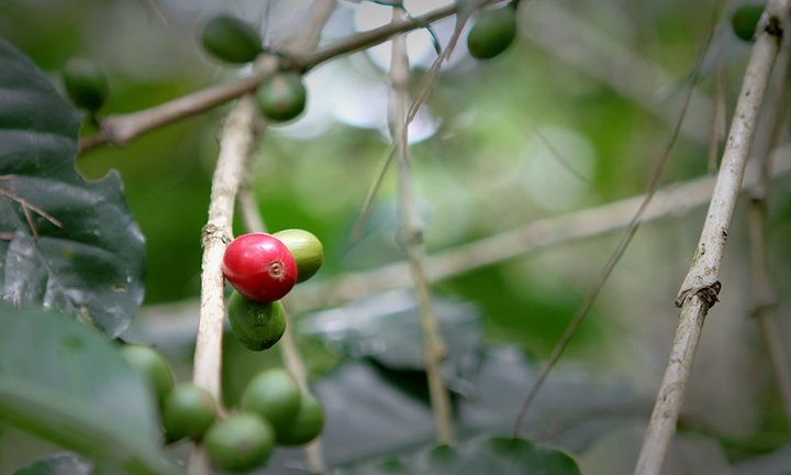 Coffee berries, Papua New Guinea. Credit: Bioversity International/P.Quek