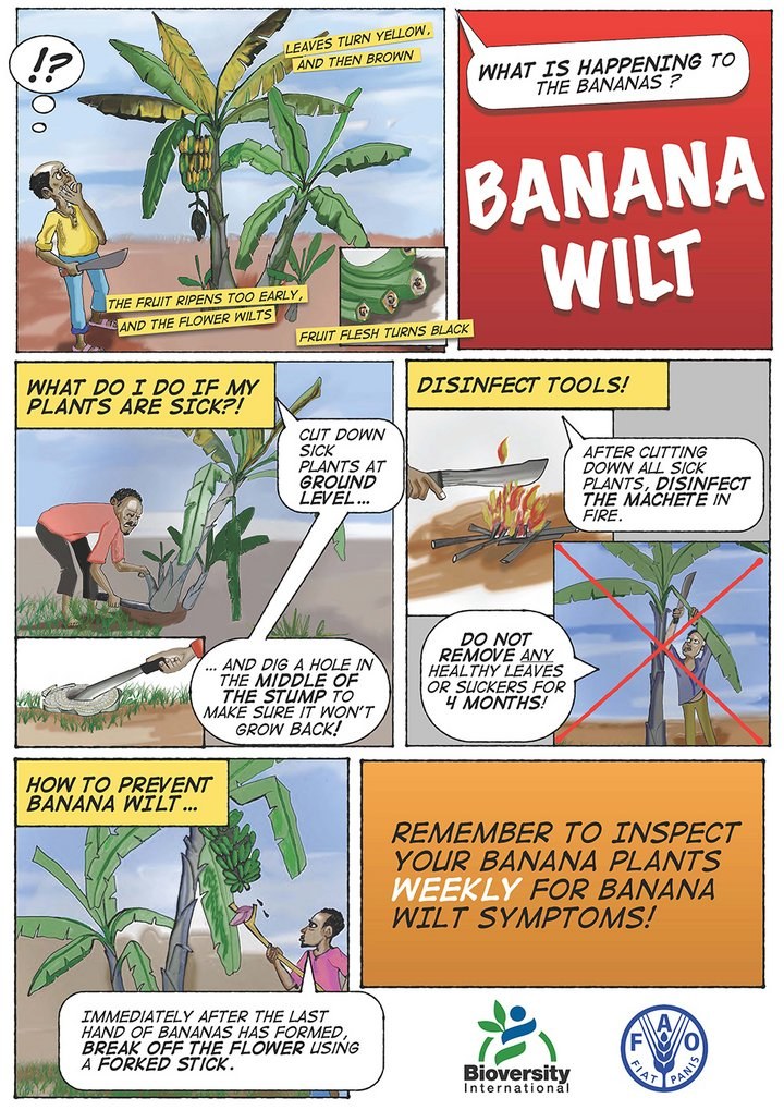 Poster on the single diseased stem removal technique (SDSR), one of the management practices that have been shown to be effective in controlling Xanthomonas wilt. Credit: Bioversity International