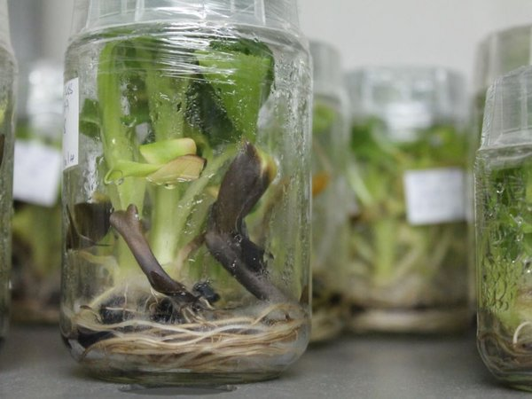 FILE - Lab at the National Agricultural Research Organization grows disease-resistant genetically modified bananas, Uganda, Sept. 13, 2013. (Hilary Heuler for VOA)