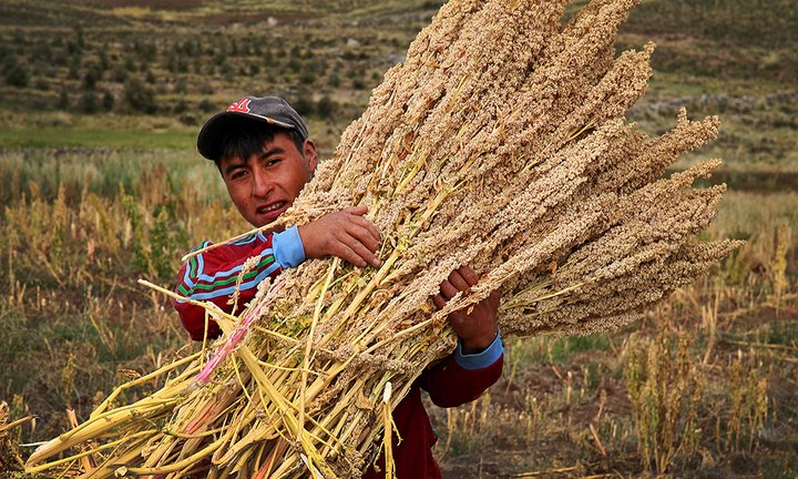 Harvesting quinoa in Peru. Credit: Bioversity International/A. Camacho