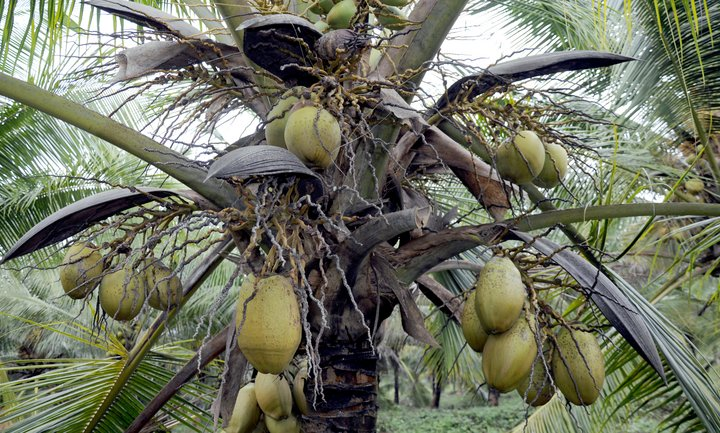 Coconut palm tree, Sri Lanka. Credit: Bioversity International/D.Martinez