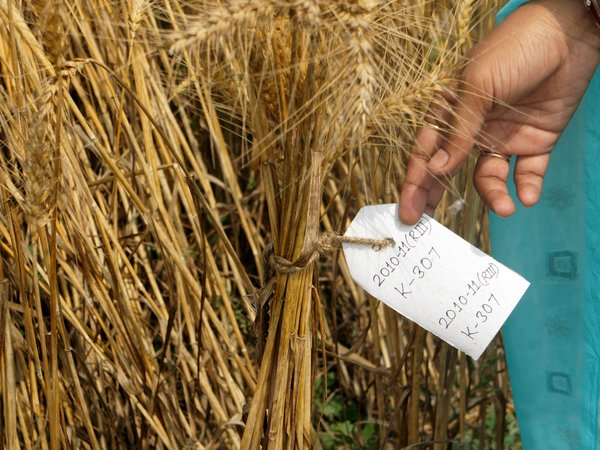 Wheat varieties grown as part of crowdsourcing trials in India. Credit: Bioversity International/T.Rastogi