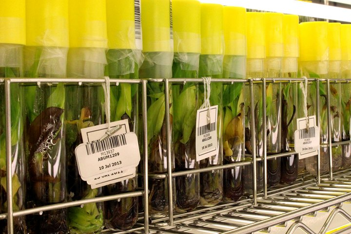 In vitro banana collection at the Bioversity International Transit Centre, Belgium. Credit: Bioversity International/N. Roux