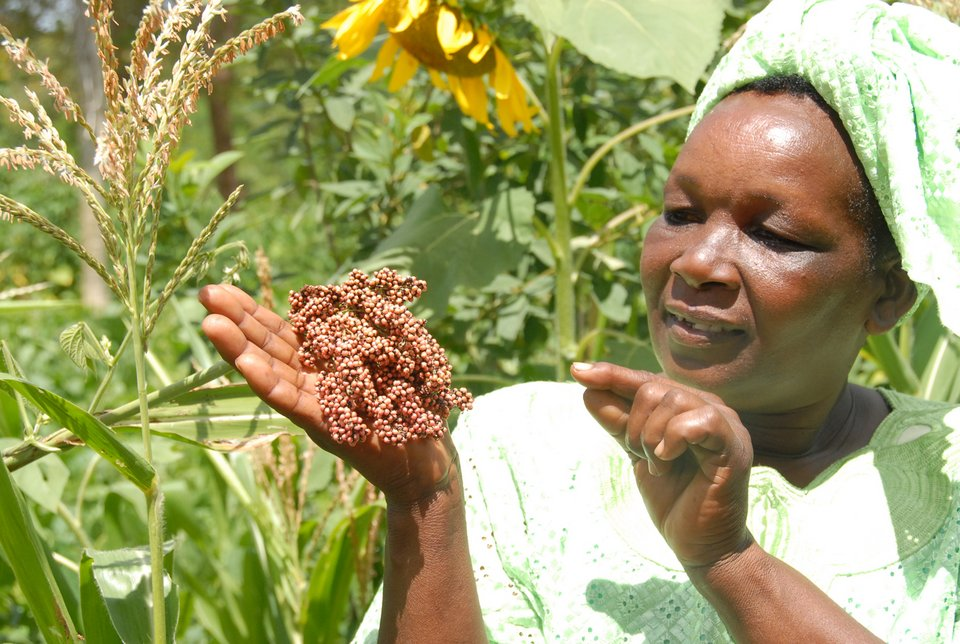 Peninah Mwangangi is one of the leaders of the Kyanika Womens Group in Kitui, eastern Kenya, and plays a key role in conserving local farmer landraces of a variety of crops. Here she shows some sorghum that the group is conserving. 