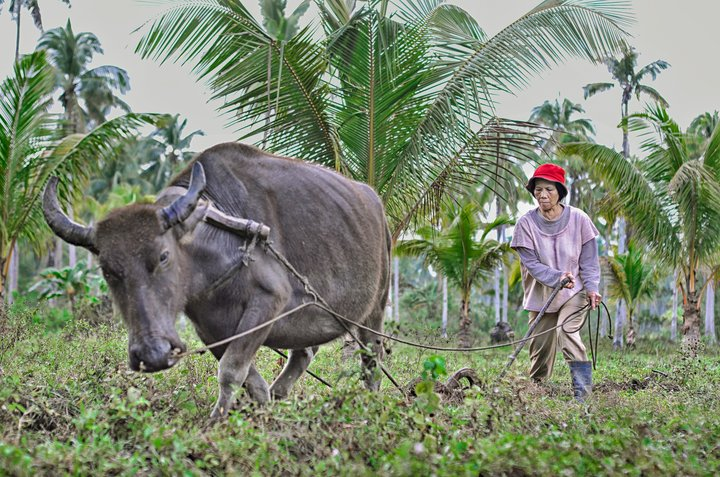 One of the three winning photos from the Women and Agricultural Biodiversity Photo Contest. While visiting a friend in the Sitio Damog area, Barangay Sumilihon, Butuan City, Philippines, a local woman named Amalia Sumabat caught my attention. She is plowing her land with the help of a water buffalo (Carabao) in preparation for planting different kind of vegetables: the traditional way of farming in the Philippines. Credit: A. Gomez