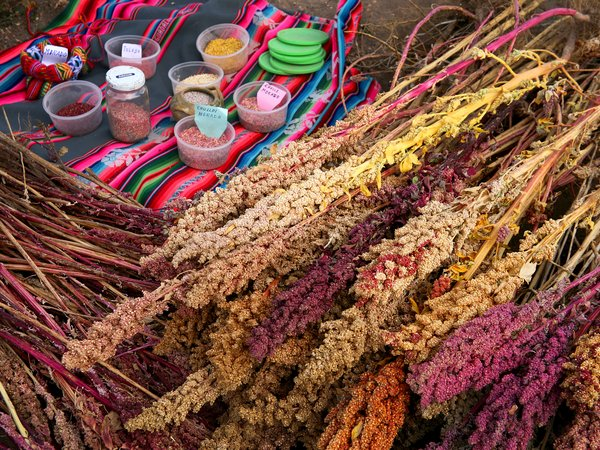 Quinoa varieties conserved by Doña Adeleiva Castillo , a custodian farmer.  She conserves 120 varieties of quinoa on her farm in the Peruvian Andes in memory of her son who died tragically in a motorcycle accident. Please credit:  Bioversity International/A. Camacho