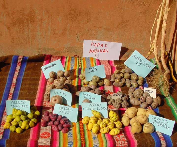 Different tubers on display at a diversity fair, Peru. Credit: Bioversity International/A.Drucker