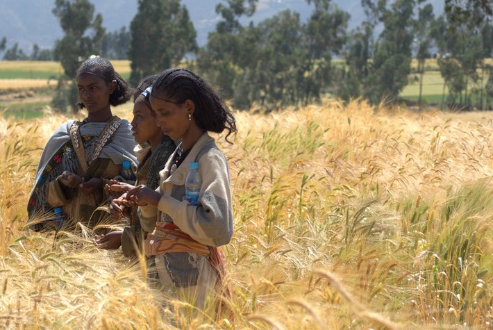 Farmers scoring wheat varieties being grown in field trials, Ethiopia. Bioversity International/J.V.Gevel
