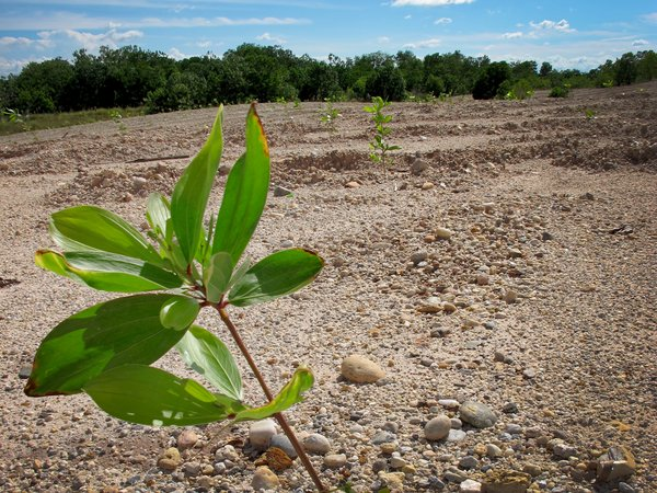 Acacia mangium trees planted in a restoration area after gold mining process in Colombia. Please credit: Bioversity International/E.Thomas
