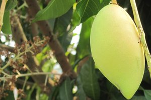 Mango, India. Credit: Bioversity International/B. Sthapit
