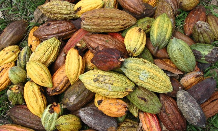 Cacao pods lie on the ground after harvesting. Credit: Bioversity International