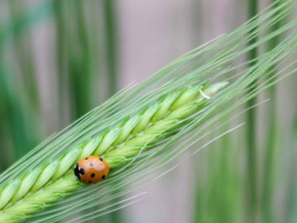 Ladybug resting on Einkorn wheat - one of the earliest cultivated forms of wheat. Credit: Bioversity International/N.Capozio