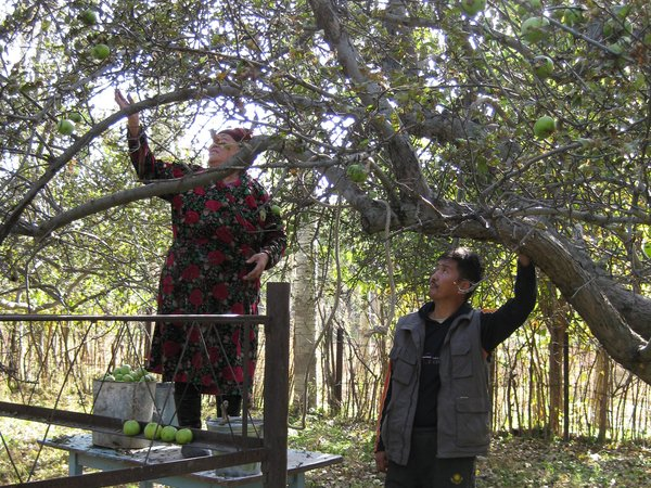 Collecting apples from fruit orchard, Kyrgyzstan. Credit: Kuban Turgunbaev