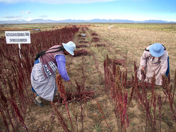 Farmers harvesting quinoa in Peru. Credit: Bioversity International/A.Camacho