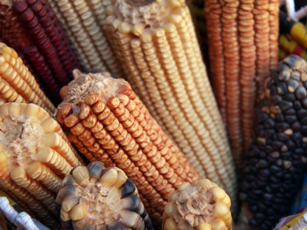 Maize diversity. Credit: Bioversity International/C.Zanzanaini