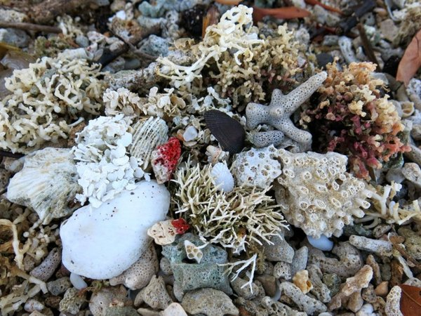 Coral washed up by the waves in Fiji. Credit: Bioversity International/D.Mijatovic