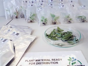 Plant material ready for distribution to users all over the world. Credit: Bioversity International/N. Capozio
